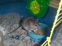 grey mouse eating out of bowl