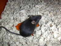 black small mouse in cage