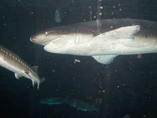 sharks at aquarium in sf
