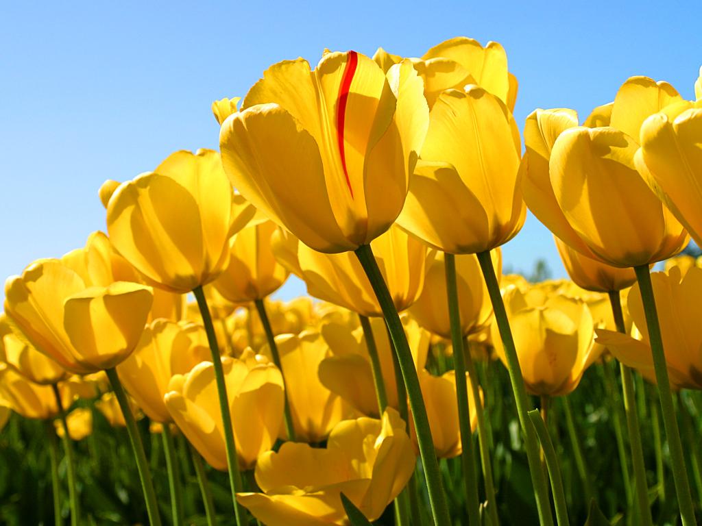 hopeful tulips